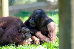 Orangutan Monkey World 8th April 2017 #6