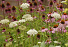 Coneflowers and Queen Anne's