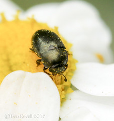HolderMeligethes pos. aeneus - Pollen Beetle  #1