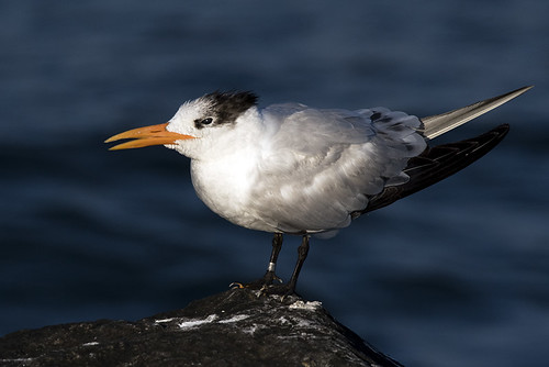 Hollywood, FL: Royal Tern on Jetty