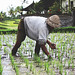 Working in paddy fields