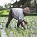 Working in paddy fields