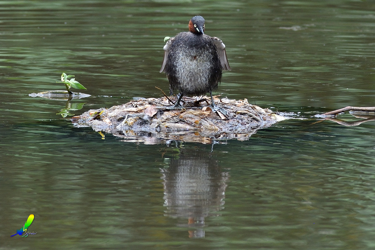 Little_Grebe_5719