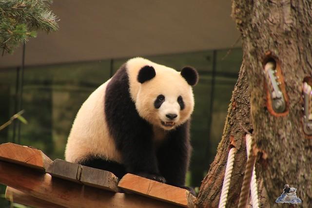 Panda Meng Meng und Jiao Qing im Berliner Zoo 09.07.2017 049