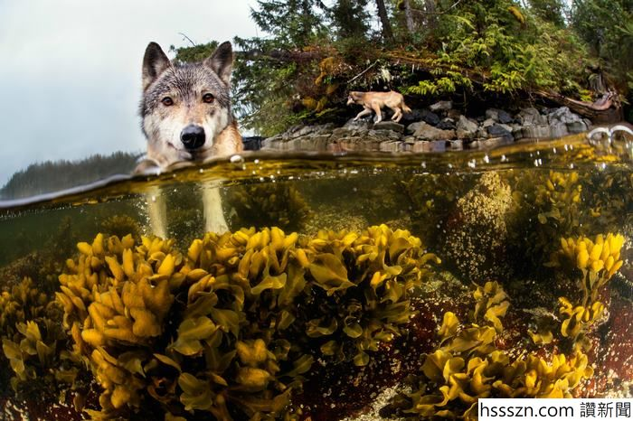 swimming-sea-wolves-pacific-coast-canada-ian-mcallister-3_700_466