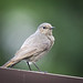 Small photo of Mrs Black redstart