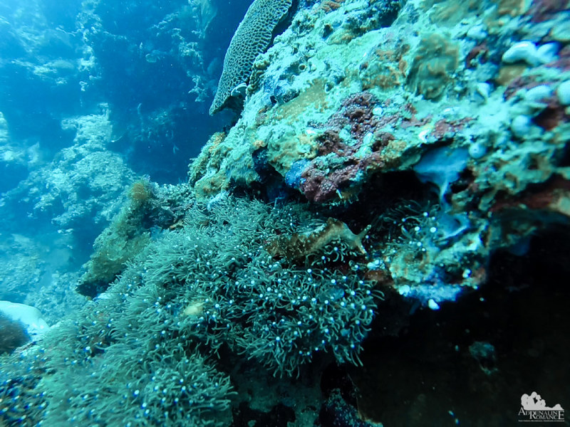 Nudibranch on green star polyps