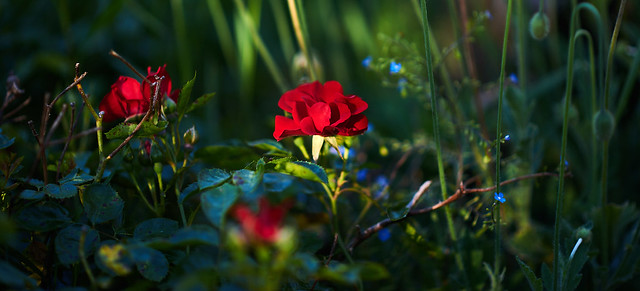 Rose Garden, Nikon D610, Nikon AF-S Nikkor 85mm f/1.8G