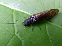 Alderfly (Sialis lutaria)