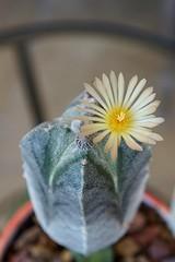 Sudden cactus blossom