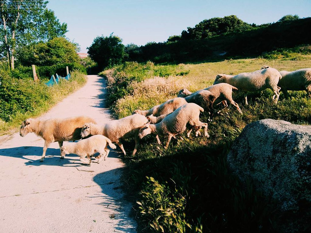 Traffic. #sheeps #urbannature #Coruña #phonephoto #photography #vsco