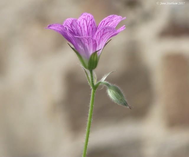 A Linum flower. [Explored 8.6.17]., Fujifilm FinePix S1600