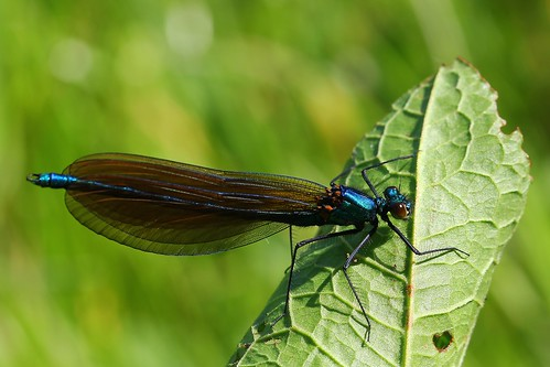 Beautiful Demoiselle Male -Calopteryx virgo _ Wytch Heath Dorset-140517 (4)