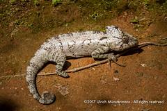 A male panther chameleon (Furcifer pardalis)