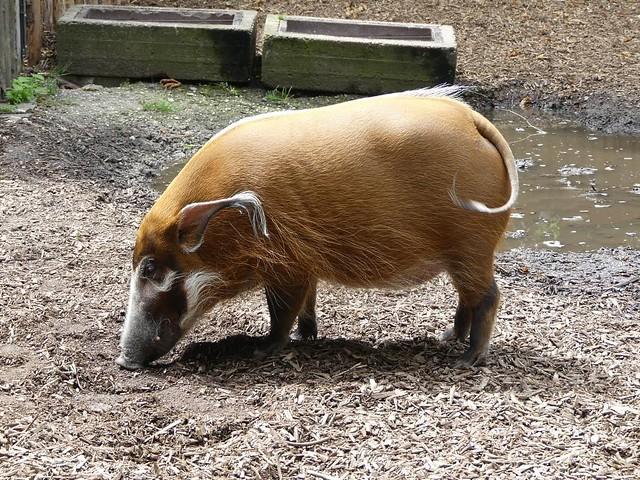 Pinselohrschwein, Zoo Landau