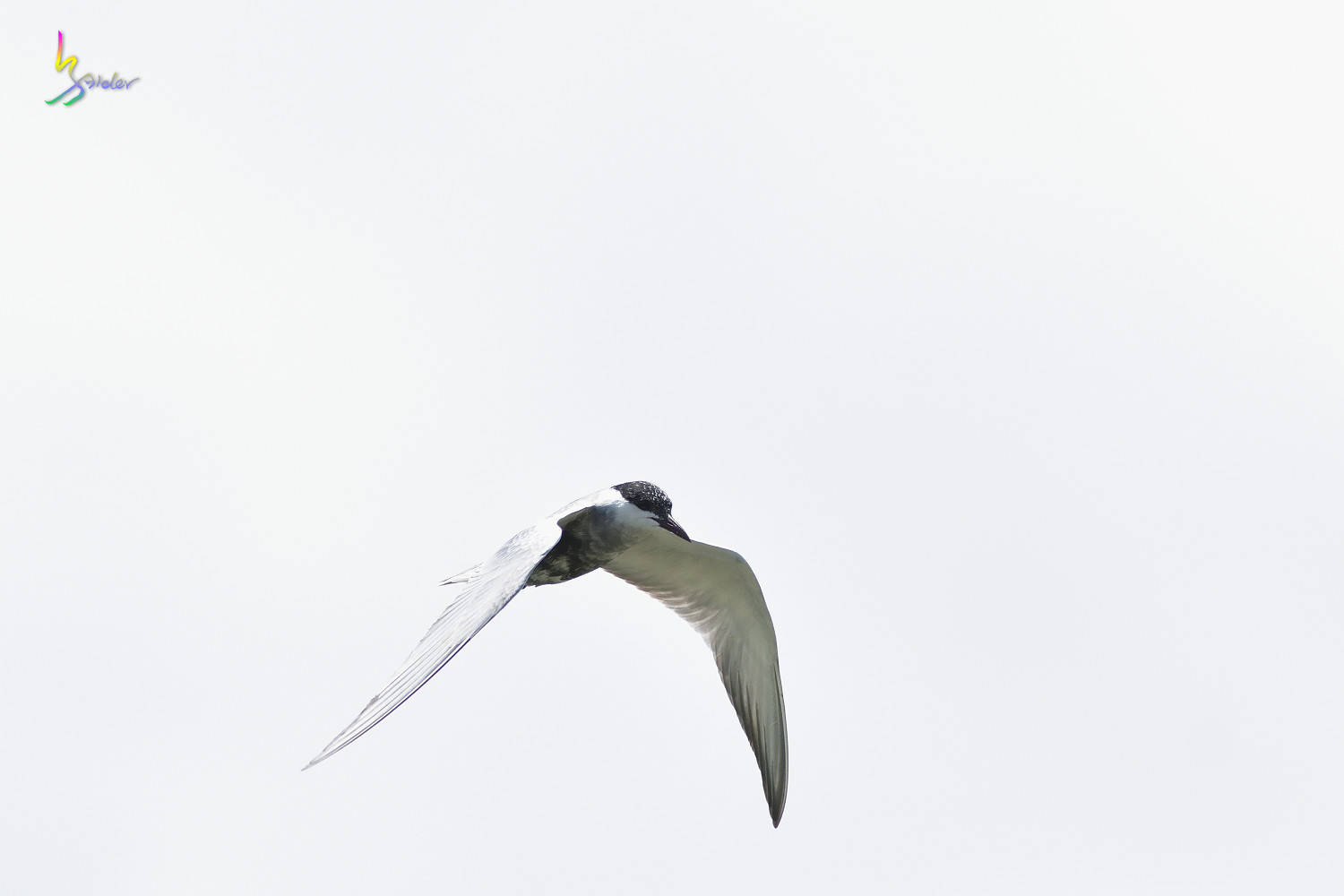 Whiskered_Tern_5053