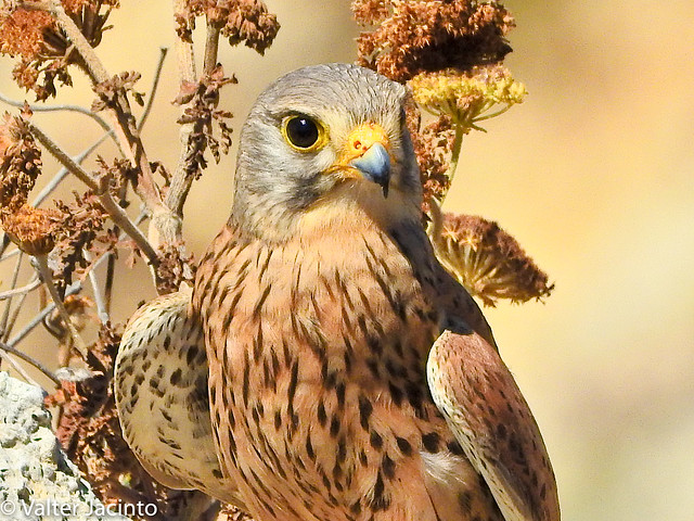 Peneireiro // Common Kestrel  (Falco tinnunculus)