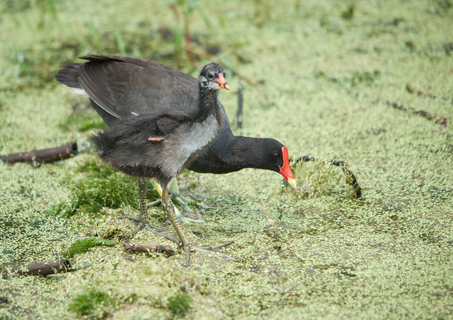 Common Gallinules juvenile and, Nikon D700, Sigma 150-500mm F5-6.3 DG OS APO HSM