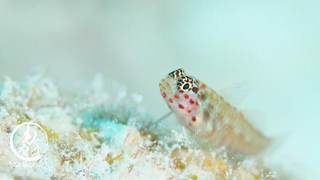 アカホシイソハゼの成魚。小さい。。