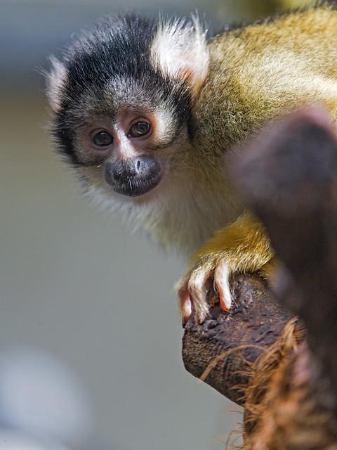 Squirrel monkey on a strange branch