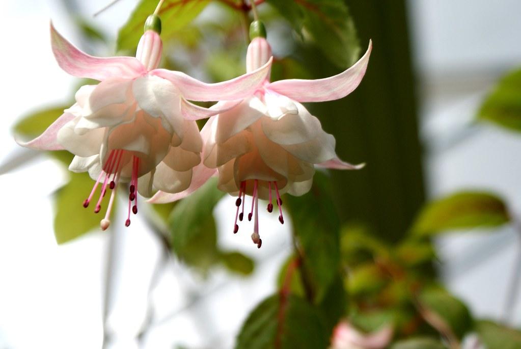 > Dans la fermes aux papillons du jardin botanique de Riga en Lettonie.