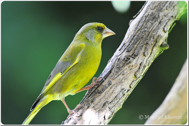 © • European Greenfinch •