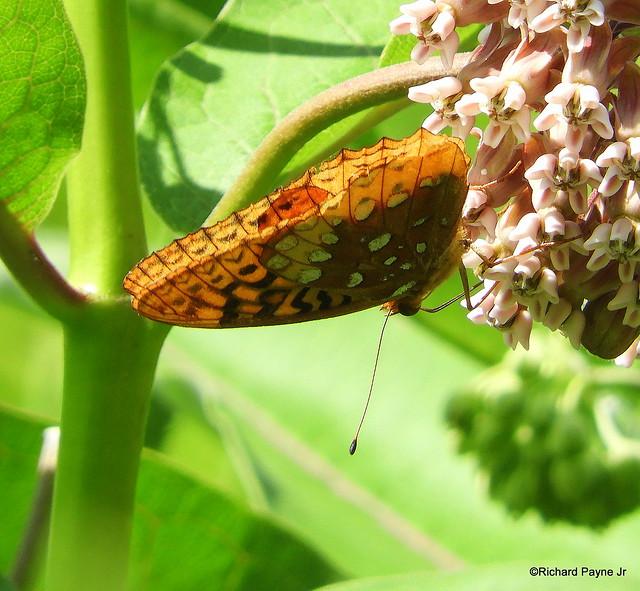 Great Spangled Fritillary_N6882