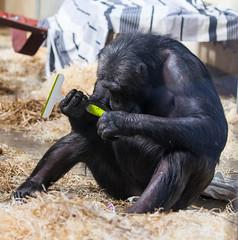 Chimpanzee Monkey World 8th April 2017 #3