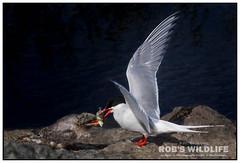 Arctic Tern 062517-6446-W.jpg