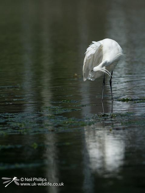 Little egret in West Looe River-14
