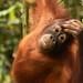 Orangutan (Lesley Hawkins)