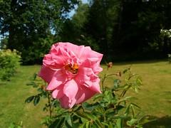 Roses, Roses, Roses...Prairie Dawn