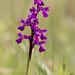 Green_veined Orchid (Ian Tulloch)
