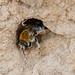 Long-horned bee f at burrow entrance by Steve Balcombe