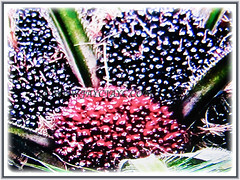 The captivating black and orange-red fruits of Elaeis guineensis (Oil Palm, African Oil Palm, Kelapa Sawit), 1 July 2017