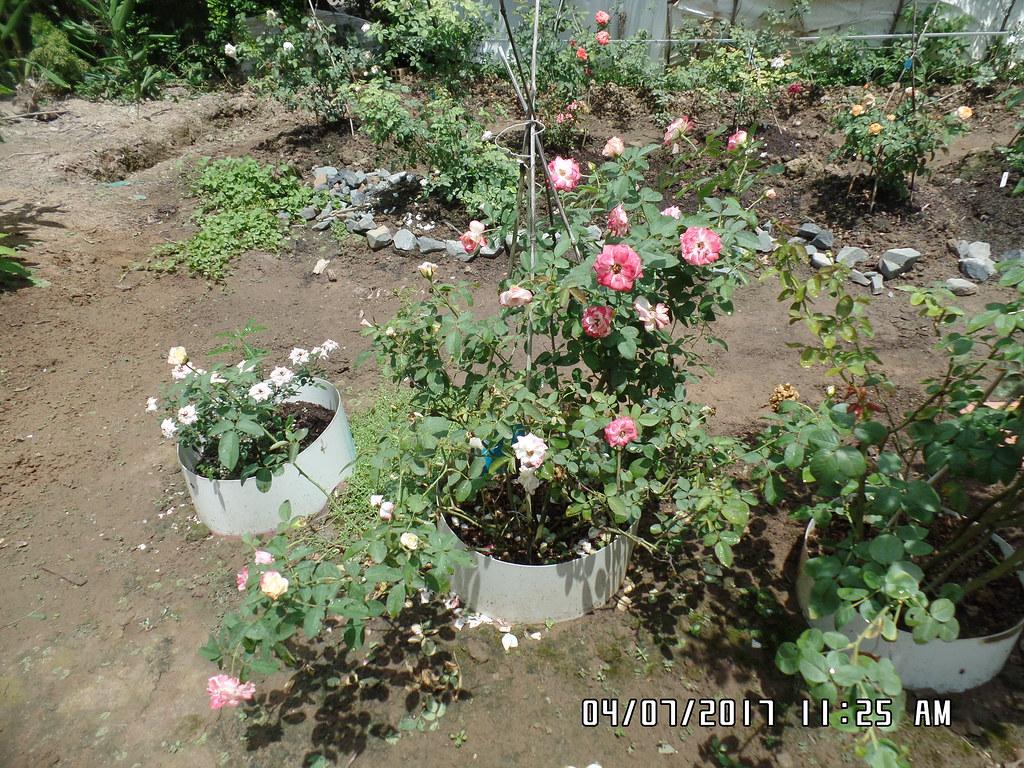 hong ngoai cherry parfait rose (2)