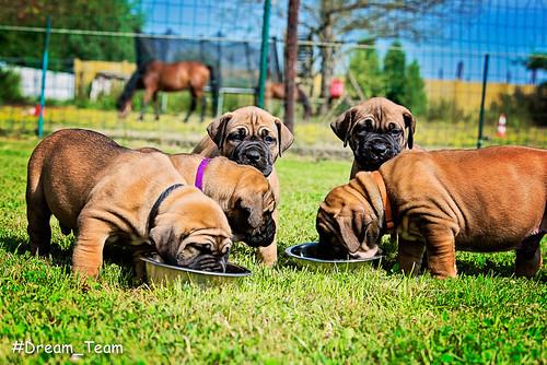 Puppy's Boerboel