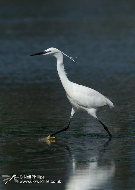 Little egret in West Looe River-5