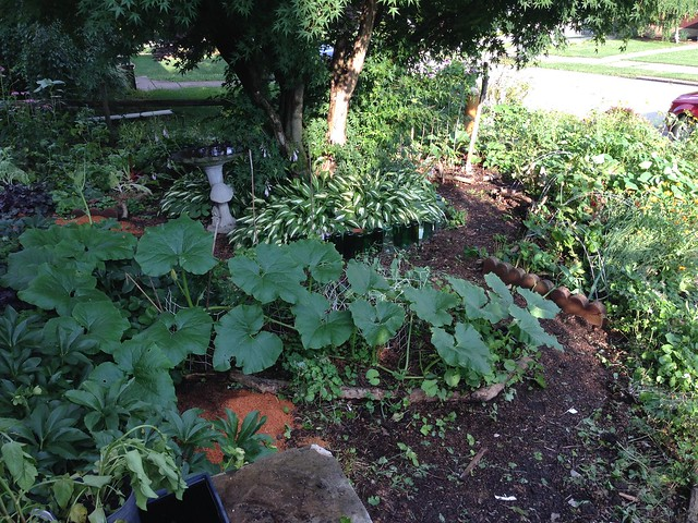 Squash takes over blueberry patch