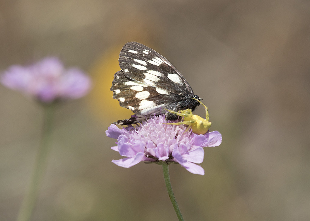 Balkan Marbled White and spider