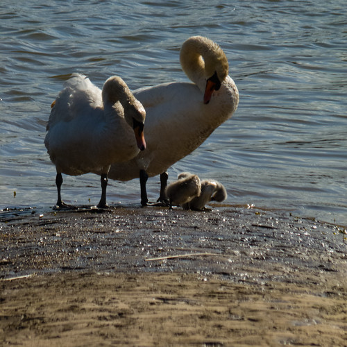 Muddy swans with cygnets