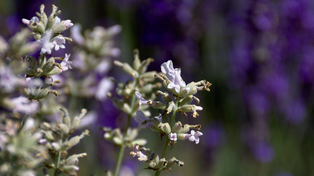 Lavender Farm | Flowers from a local farm are in full bloom