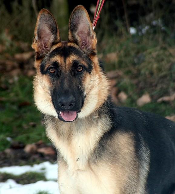Fen 2 Years Old Small German Shepherd Female Greyhound Gap