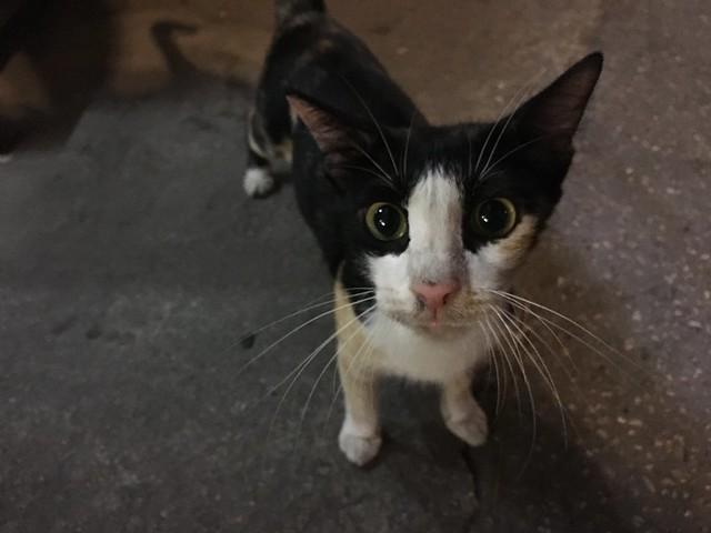 アグレッシブにひとなつこい猫