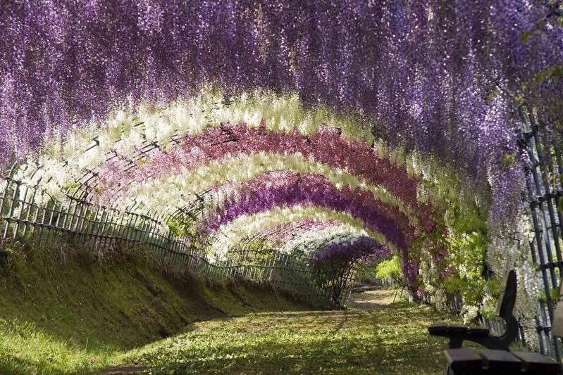 Wisteria Tunnel at Kawachi Fuji Gardens, Japan | Photography by ©Lauren, vía @awesomeEarthPix #pnwonderland #awesomeearth #photooftheday #adolrivera60 #sunrise #landscape #pnw #worldcaptures #pdx #natgeo #nature #ourplanetdaily #discoverearth