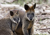 Mother and Joey Wallaby 2017-06-18 (60D_1448)