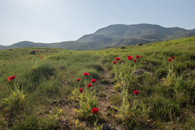 Red poppy flowers in, Canon POWERSHOT G9 X