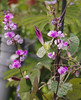 Hyacinth Bean Morning Glory