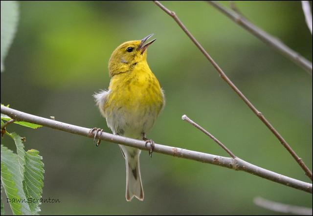 DSC_9264  Pine Warbler