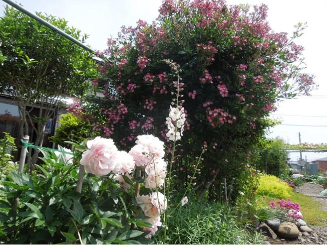 実家の29種のバラがバラ園のように凄いことになってた (1)